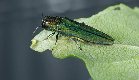 Emerald Ash Borer USDA James Zablotny