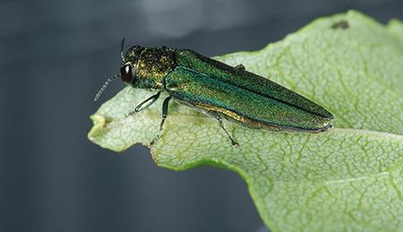 Emerald Ash Borer USDA James Zablotny